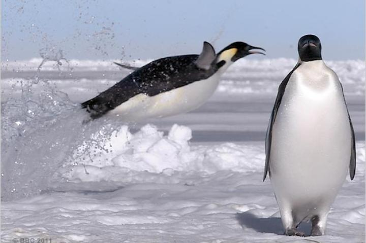 An emperor penguins leaps from the sea.
