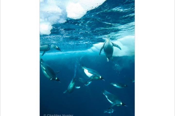 Emperor penguins swim at Cape Washington in Antarctica's Ross Sea.
