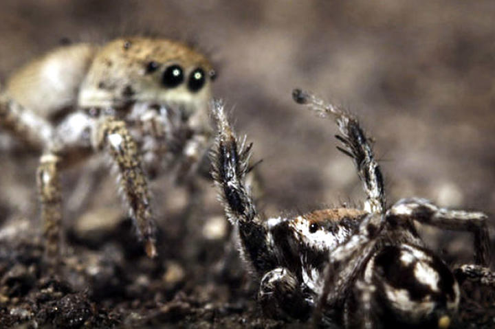north-america-jumping-spiders-625x450