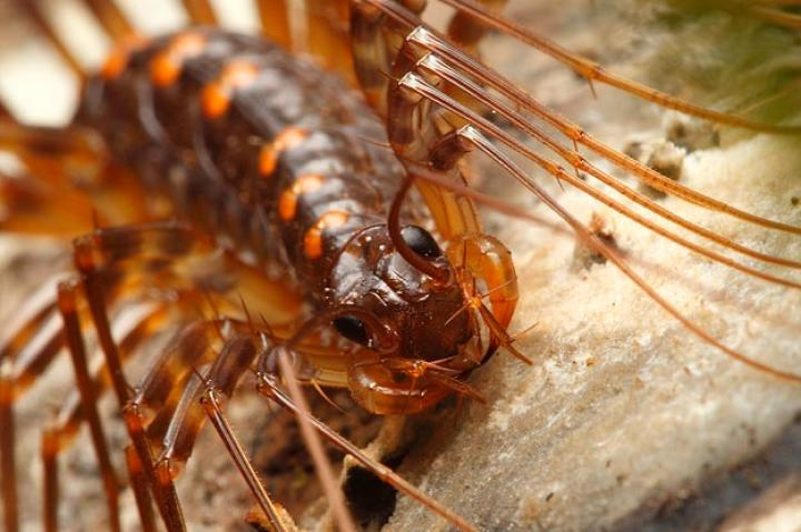 House Centipedes'