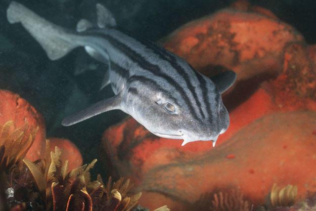 Pyjama shark is also known as a striped catshark or pyjama catshark (Poroderma africanum) Castle Rock, False Bay, Cape of Good Hope, South Africa.