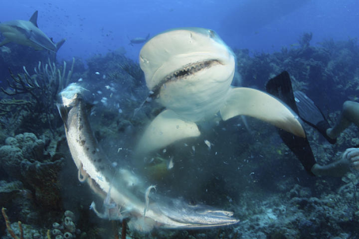 Caribbean reef shark attacking barracuda in the Bahamas with a diver nearby.