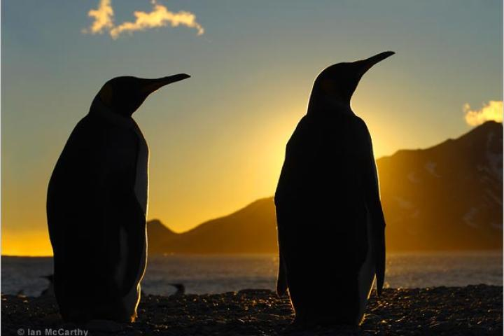 King penguins silhouetted at dawn, South Georgia.