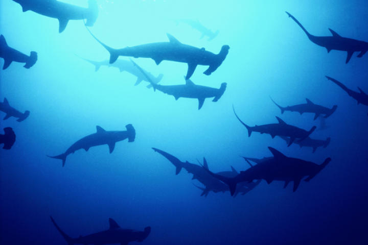 Hammerhead sharks off the Cocos Islands in the South Pacific.