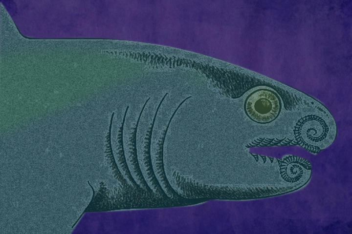 "Helicoprion's closest living relatives are the Chimaeras, cartilaginous fish which carry the nickname ""ghost sharks"".  Since Helicoprion's body was made primarily of cartilage (which disintegrates when the body begins to decay), most fossil remains only reflect the shark's teeth."