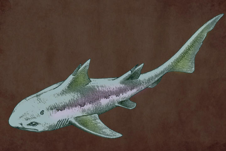 Hybodus lived to be about 6 feet in length and was an opportunistic predator.  Hybodonts had two sets of teeth: the sharp set was for catching slippery prey, while the flat set was for breaking down shells and other hard-to-chew foods.  The reason for Hybodus' extinction is still unknown to this day.