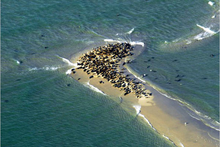 Gray seals crowd a sandbar off Chatham, Massachussetts. Greg Skomal, a marine biologist with the Massachusetts Division of Marine Fisheries, believes that a recent explosion in the gray seal population off Massachusetts is what's luring great white sharks back to Cape Cod. Greg investigates the great white's return to the North Atlantic in