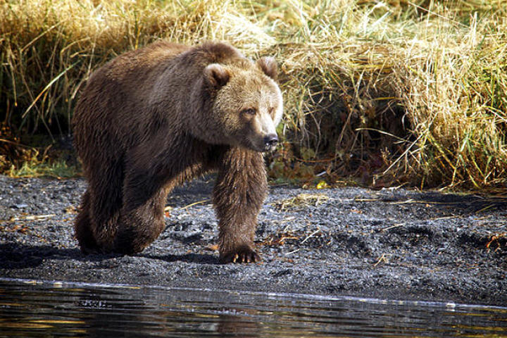 north-america-kodiak-brown-bear-625x450