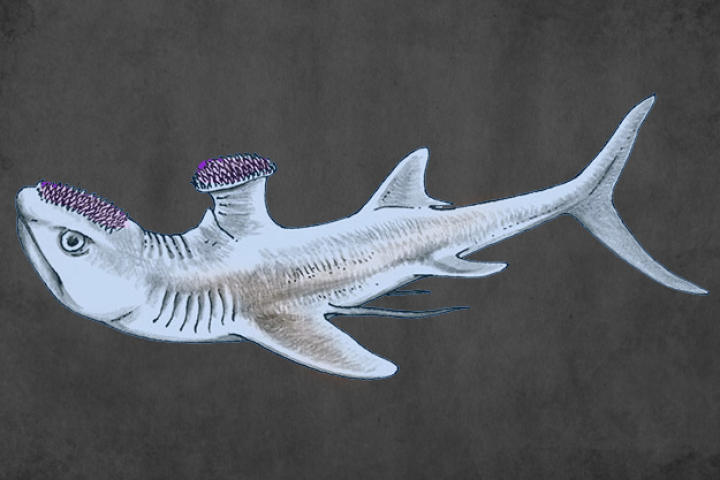 Stethacanthus averaged 2.3 feet in length and resembled most normal sharks with one unusual exception: it was known for having an oddly-shaped dorsal fin that looked a lot like an anvil or ironing board.  Also, spikes on its head were used during mating rituals and to attack prey.