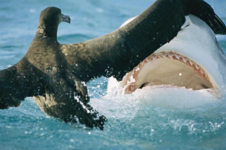 A tiger shark feeds on a young albatross.