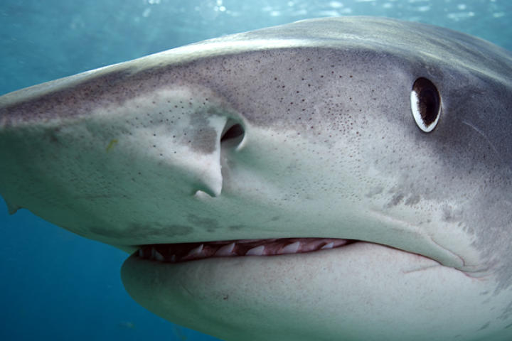 Close-up of tiger shark (Galeocerdo cuvier) off Tiger Beach, Grand Bahama Island, Bahamas.