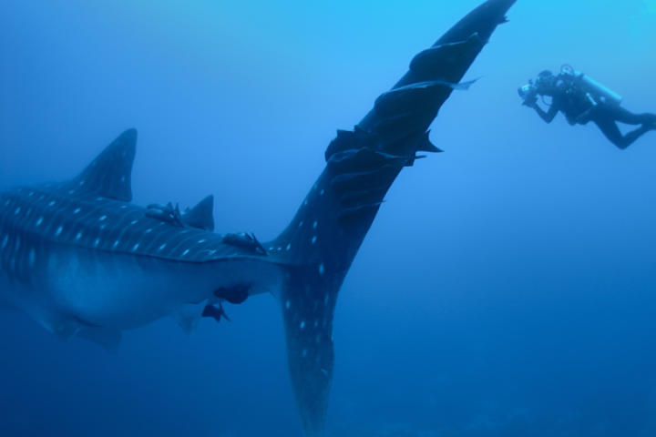 Diver with a whale shark (Rhincodon typus).