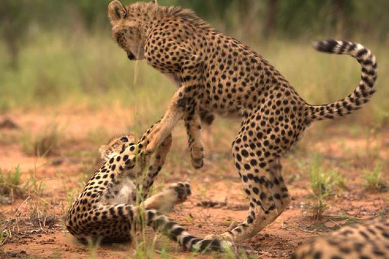 Cheetah cubs playing. Play helps build hunting skills.