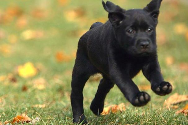 A Labrador Retriever puppy leaps through the grass.