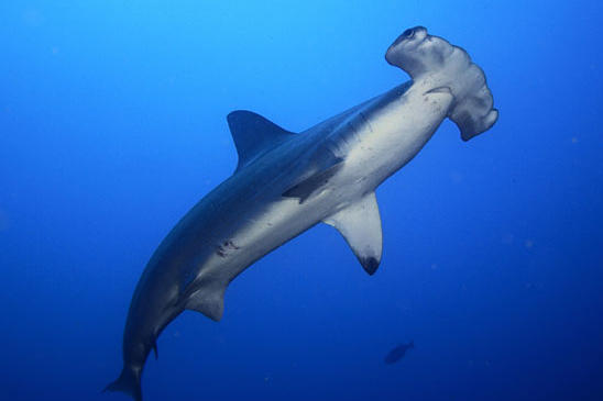 A scalloped hammerhead shark swims off the coast of Cocos Island. This species can grow to 14 feet in length. Its larger cousin, the great hammerhead, can grow to 20 feet and weigh over 1,000 pounds. There are nine recognized hammerhead species, all of which are found in tropical waters throughout the world.