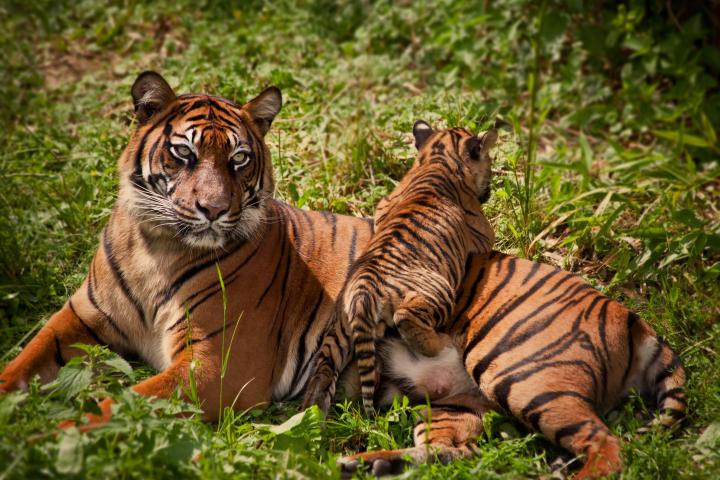 Cub climbing on tiger