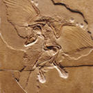 Archaeopteryx is the world's oldest bird. Because fossils of the creature were found in limestone quarries, they were very well preserved, even including fossilized feathers. Archaeopteryx was smaller than most people realize, with a wingspan of only about 2 feet (60 centimeters). Check out another bird on the next page.