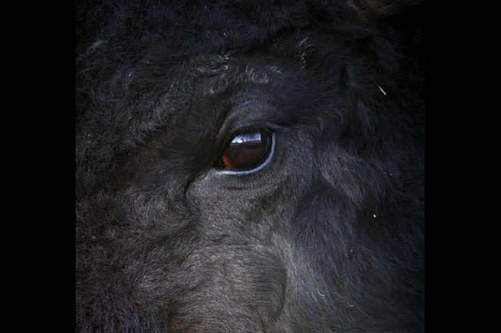 The eye of a bison, one of the most iconic animals of the American West. The Great Plains once swarmed with literally millions of bison. Today, there are about 200,000.