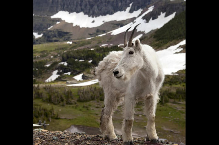 A mountain goat in Glacier National Park, Montana. Mountain goats have split hooves with sharp outer edges and a flexible rubbery sole, just like human climbing shoes. They give the goat a secure grip on event the most perilous foothold.