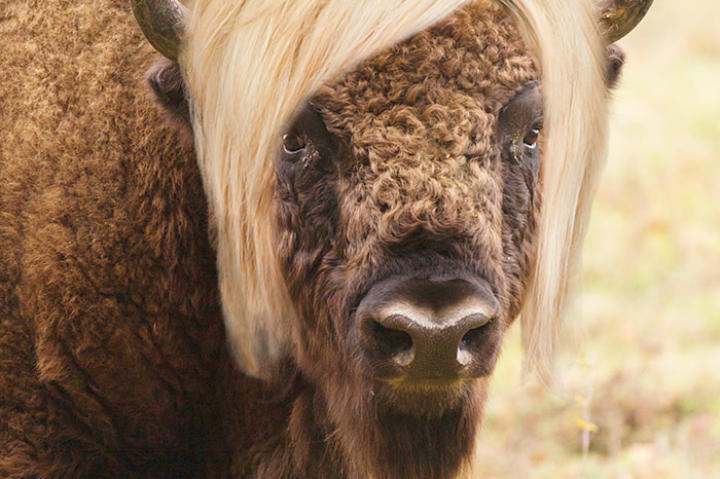 Long Island Bison