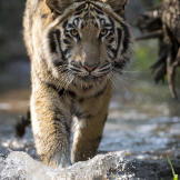 Tiger Walks Through River