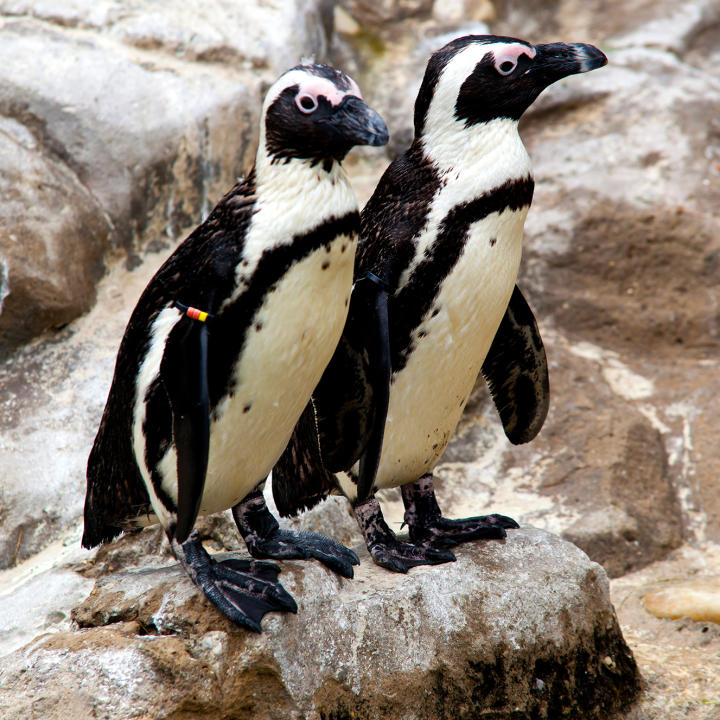 Image of: Volunteer Penguin Cam Undiscovered Mountains Wild Animals Animal Planet