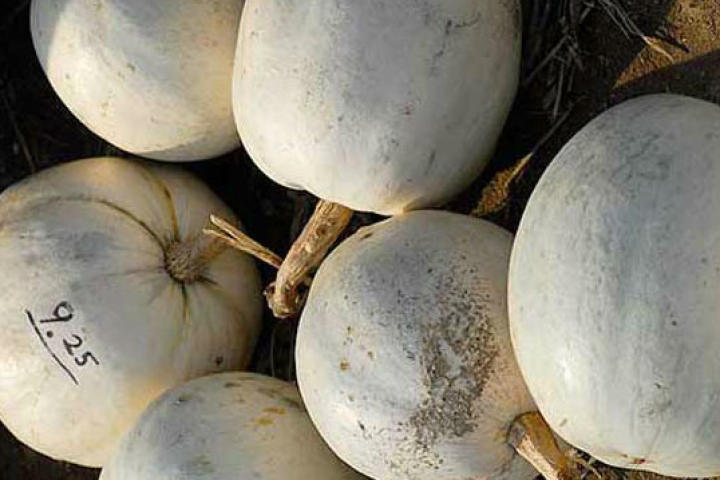 "White pumpkins are actually often preferred over orange because they're denser and better able to withstand the chunking pressure.  Pumpkins that explode on release are known as ""pumpkin pie."""