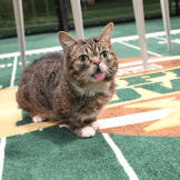 Lil BUB is ready for the Puppy Bowl. Are you?
