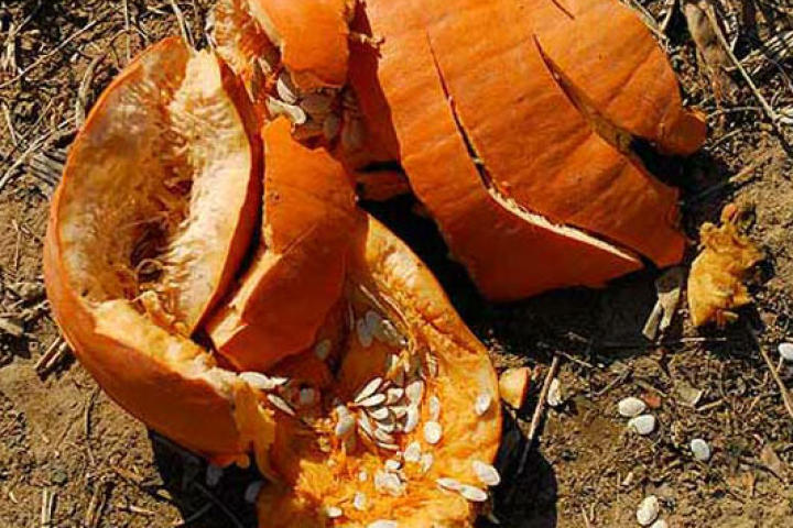 There's no better way to get rid of pumpkins after Halloween than chunking them!
