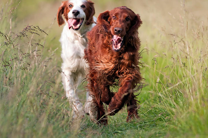 The Irish setter was bred to be a tireless and enthusiastic hunter, and it approaches everything in life with a rollicking, good-natured attitude, full of gusto and fervor.
