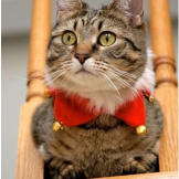 Meet the sweet Akeela, prim and purrrfect in holiday attire.
