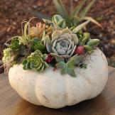 Pumpkin Succulent Flower Duet