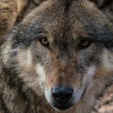 wolf-spooky