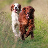 The Irish setter was bred to be a tireless and enthusiastic hunter, an