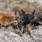 The dog Tinni and the fox Sniffer met in a Norwegian forest and they a