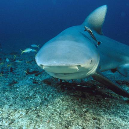 Bull Shark: World's Deadliest Shark.