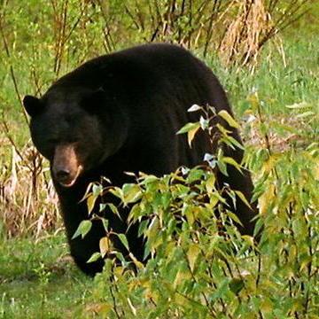 Top 10 Black Bear Videos