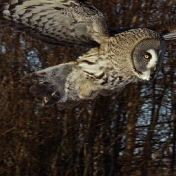 Owl Snipes a Vole