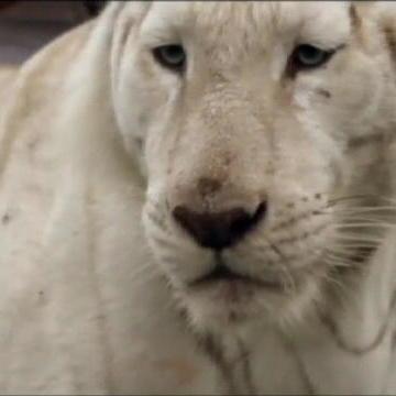Tiger Ranch Incident