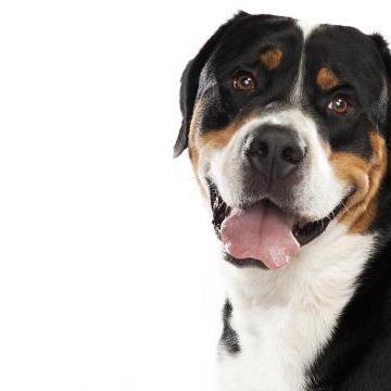 Greater Swiss Mountain Dog
