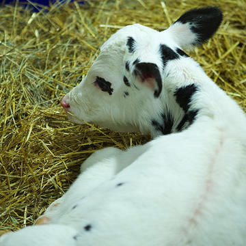 Lucy the Cow Gives Birth to Calf Desi Jr
