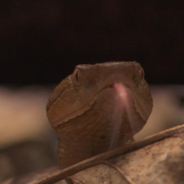 Mama Copperhead Snake Gives Slimy Birth to Slithery Babies