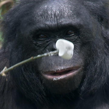 Crazy Smart Ape Lights Campfire, Roasts Marshmallows