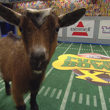 The Puppy Bowl XI Goats