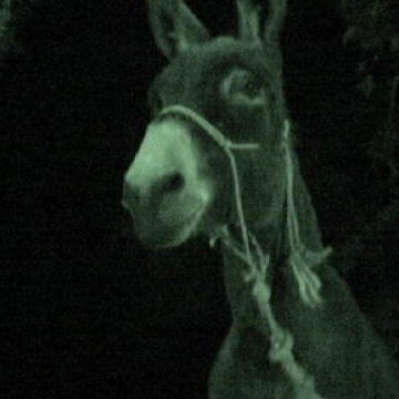 A Spooked Donkey