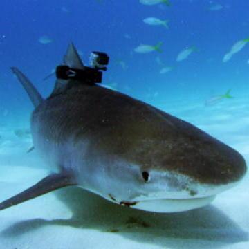 Tiger Shark Fin Cam