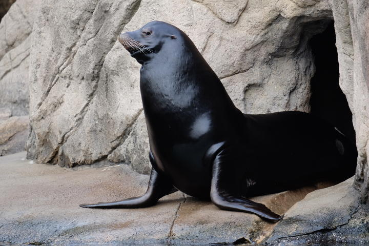 A sea lion at the Bronx Zoo