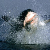 A great white shark launches from the water during an attack off the c
