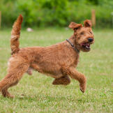 Called the daredevil of dogdom, the Irish terrier is brash, bold, asse