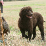 The Irish water spaniel goes at everything in life with gusto and enth